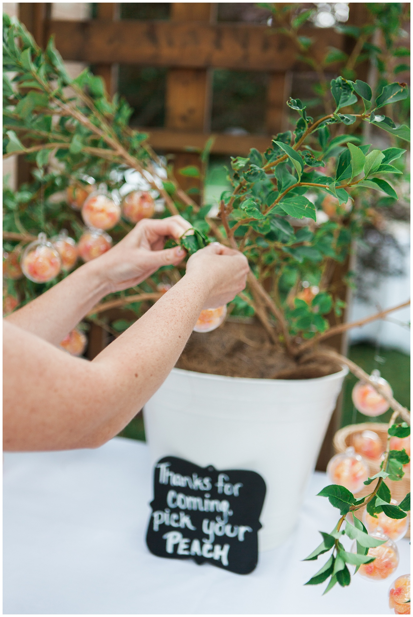 Picking clementines from tree in a bucket at reception at Guelph Ontario Wedding | Ontario Wedding Photographer | Toronto Wedding Photographer | 3photography